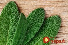 Green Sage loves a warm, sunny site & rewards you with fresh leaves all year. Perfect for Italian cooking. Order UK grown plants Online from Ashridge Nurseries Sage And Onion Stuffing, Sage Herb, Salvia Officinalis, Hardy Perennials, Grey Flowers, Plants Online, Growing Herbs, Green Garden, Cactus Plants