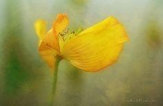 Poppy by Mark_O_H on 500px