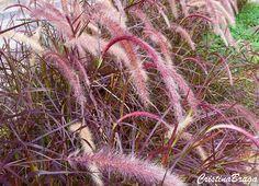 Capim do Texas - Pennisetum setaceum