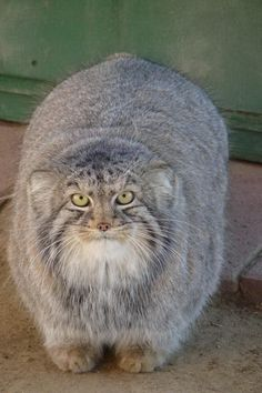 The Pallas´s Cat, also called Manul, a small wildcat living in the grasslands and steppe of central asia.