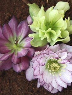 Helleborus x hybridus 'Berry Swirl'. (Berry Swirl Lenten Rose.)