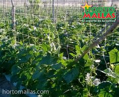 El cultivo de pepino necesita de un sistema de tutoreo para que la planta desarrolle plenamente.  La malla espaldera HORTOMALLAS se podrá re-utilizar varias veces.