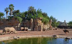 Rinocerontes, avestruces y cebras en la Sabana | Rhinoceros, ostrich and zebras | Bioparc Valencia www.bioparcvalencia.es