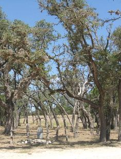 The Bandera (Texas) Tragedy Tree: 8 men were hanged (under questionable circumstances: can you say murder?) one after the other, from this tree during the Civil War. Follow link for story.