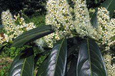 Prunus laurocerasus 'Herbergii' - Laurier 'Herbergii'