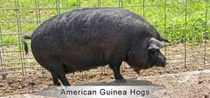 American Guinea Hogs | Maveric Heritage Ranch Co