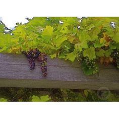 Grape vine over timberframe - natural pergola