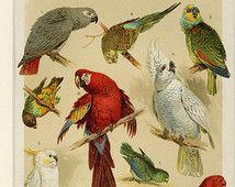 "Matted Antique Bird Print C. 1894 Parrot Macaw Cockatoo Chromolithograph Tropical Decor11 x14"""