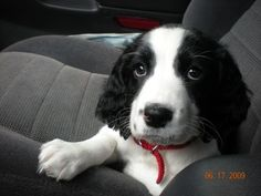english springer spaniel..my first puppy!!