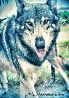 Tala Gray Wolf is mom to Flower. Tala is a timber wolf.