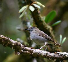Puaiohi- Hawaiian forest bird