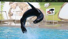 Applaudissez les otaries Nelly, Nora et Cléo et grâce aux commentaires pédagogiques du dresseur, apprenez-en un petit peu plus sur ces animaux marins exceptionnels. © African Safari #visiteztoulouse #toulouse #parc #zoo #prochainvoyage