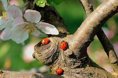 Божьих коровок привлекут в ваш сад растения семейства сложноцветных: маргаритки, пижма, или тысячелистник, одуванчик. А также божьих коровок привлекает укроп, гречиха, красная бузина. Для лучшего результата предоставленное жилище должно привлекать божьих коровок остаться и размножаться с саду. Нектар, пыльца медвяная роса стимулируют их репродуктивный процесс. Если пищи мало, взрослые насекомые могут рассеяться, улететь в другие места. Поэтому божьих коровок можно подкармливать, распыляя…