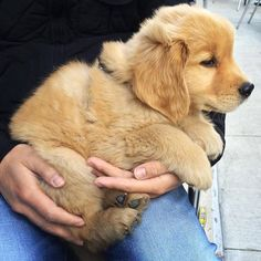 "Handful of Golden love From your friends at phoenix dog in home dog training""k9katelynn"" see more about Scottsdale dog training at k9katelynn.com! Pinterest with over 19,900 followers! Google plus with over 133,000 views! You tube with over 400 videos and 50,000 views!! Serving the valley for 11 plus years"