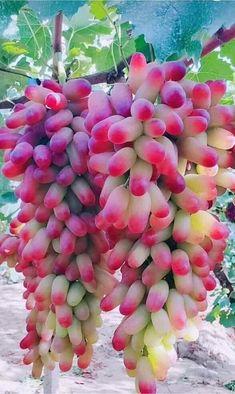 Beautiful Flowers Wallpapers, Beautiful Rose Flowers, Beautiful Fruits, Banana Plants, Fruit Plants, Fruit Garden, Pruning Raspberries, Fruit World, Permaculture