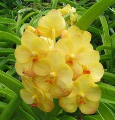 Particularmente eu sou apaixonada pela Vanda .   Acho a flor um espetáculo.   Além das cores vibrantes, o brilho das pétalas chamam mui...