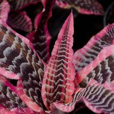 Cryptanthus 'Elaine'