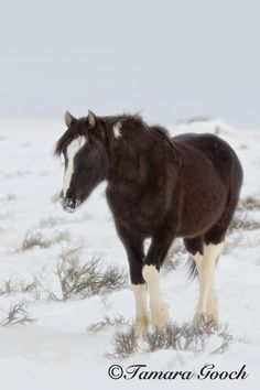 Winter-Wild-Mustang-Yearling-Photo E4C0289 / Tamara Gooch Photography