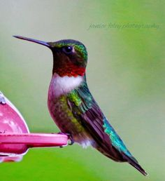 Ruby-throated Hummingbird in LaFollette, Tennessee by Janice Foley