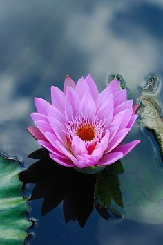 In Buddhism the Lotus flower is known to symbolize purity of speech, of the body, and of the mind.   A person's path in life is said to be similar to that of the Lotus. Starting at the seed stage, early in the karmic cycle, through to the bud emerging from the dirty water, representing a person following the path of spirituality and leaving attachment behind, and finally blossoming, this is when a person has become fully awakened and has achieved nirvana.