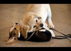 Dos cachorros juegan como funcionarios American Kennel Club de anunciar su lista anual de las razas de perros más populares en los EE.UU.(DON EMMERT / AFP / Getty Images)