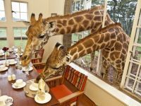 Giraffes join guests for breakfast and dinner at iconic Giraffe Manor... I Really Want to Do This!!!