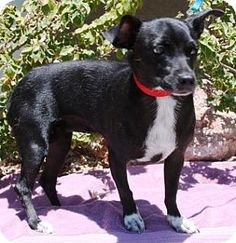 Gilbert, AZ - Dachshund/Chihuahua Mix. Meet Panchita, a dog for adoption. http://www.adoptapet.com/pet/11476056-gilbert-arizona-dachshund-mix