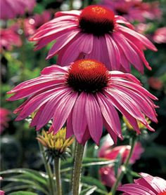 One of my favorite perennials:)  Primadonna Deep Rose Echinacea