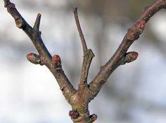 Tylppöorapihlaja, Crataegus monogyna - Puut ja pensaat - LuontoPortti