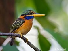 Female Rufous Collared Kingfisher photographed in Sabah, Malaysia, May 2009. The female is distinguished by her green back with its buff spots, the male having a plain blue back.