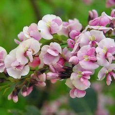 HARDENBERGIA violacea rosea Pink Colar Pea