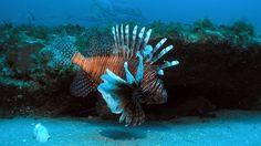Drakfisken har haft en explosionsartad tillväxt. NOAA