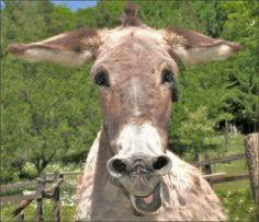 Donkey Funny, Cute Donkey, Mini Donkey, Funny Animal Pictures, Cute Funny Animals, Beautiful Horses, Animals Beautiful, Farm Animals, Animals And Pets