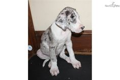 Harlequin Great Dane Puppies   ... Great Dane puppy for sale for $1,250. AKC Harlequin Great Dane Puppy