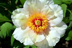 Klehm's Song Sparrow Farm and Nursery--Tree Peonies--'Helene Martin'