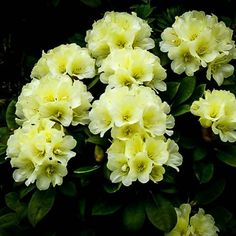 Lemon Dream Rhododendron | The Tree Center™