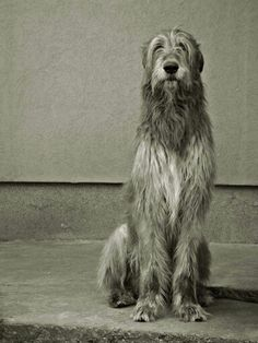 Irish wolfhound... I want two of them. Named Ragnar and a horn ❤️