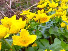 Marsh Marigolds - one of my favorite wild flowers. As a child, I spent a month at a hospital and my Mom used to bring me little bouquets of them from my Grandpa's lakefront meadow...