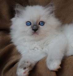 Ragdoll cats and kittens Photo Gallery. Ragdoll cat breeders in Ohio. Cute Cats And Kittens, Cool Cats, Kittens Cutest, Ragdoll Cat Breeders, Ragdoll Cats, Pretty Cats, Beautiful Cats, Beautiful Babies, Kitten Photos