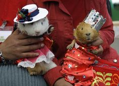 Guinea pigs + small costumes = SQUEE!