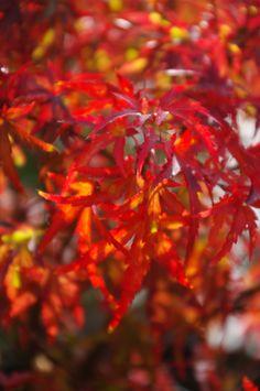 Sharp's Pygmy: Acer palmatum, Dwarf Japanese Maple