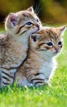 Cute cats and kittens, kittens cutest, kitten love, i love cats, cute cats Kittens And Puppies, Cute Cats And Kittens, I Love Cats, Kittens Cutest, Fluffy Kittens, Black Kittens, Kittens Playing, Siamese Kittens, Fluffy Cat