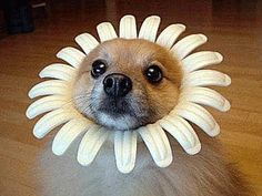 Pomeranian dressed up a like a flower for Halloween