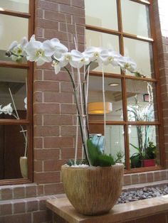 Great for lobby flowers of hotels, office buildings, hospitals, schools.The everlasting white Phalaenopsis plant! Orchid Plants, Orchids, Orchid Arrangements, Office Buildings, Plant Design, Hospitals, Schools, Lavender, Hotels