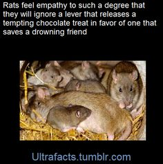 They did so even in the presence of a tempting chocolate treat, foregoing the lever that would release the food in favour of the one that would save the drowning rat. The rats...