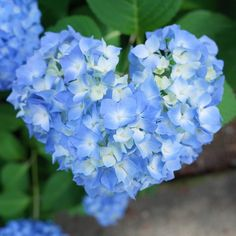 "250 Likes, 23 Comments - Takahiro NISHIOKA (@takahiro_nishioka) on Instagram: ""散歩から帰宅。三室戸寺で一つだけ見つけた、ハートのあじさい ピントが微妙 思い切って絞れば良かった… --- 6/4 三室戸寺 #お花とる人おけいはん"""