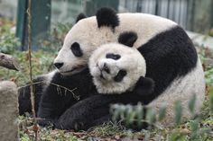 Rare Panda Moment by Josef Gelernter on 500px