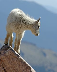 Baby Mountain Goat from Mt. Evans in Colorado