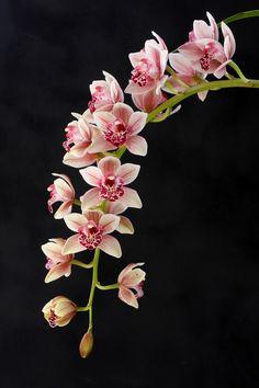 Cymbidium paradisian surprise speckles orchids under glass Flowers Nature, Exotic Flowers, Tropical Flowers, Amazing Flowers, Beautiful Flowers, Orchids Garden, Orchid Plants, Flowers Garden, Cymbidium Orchids