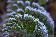 Frosted fern... still standing